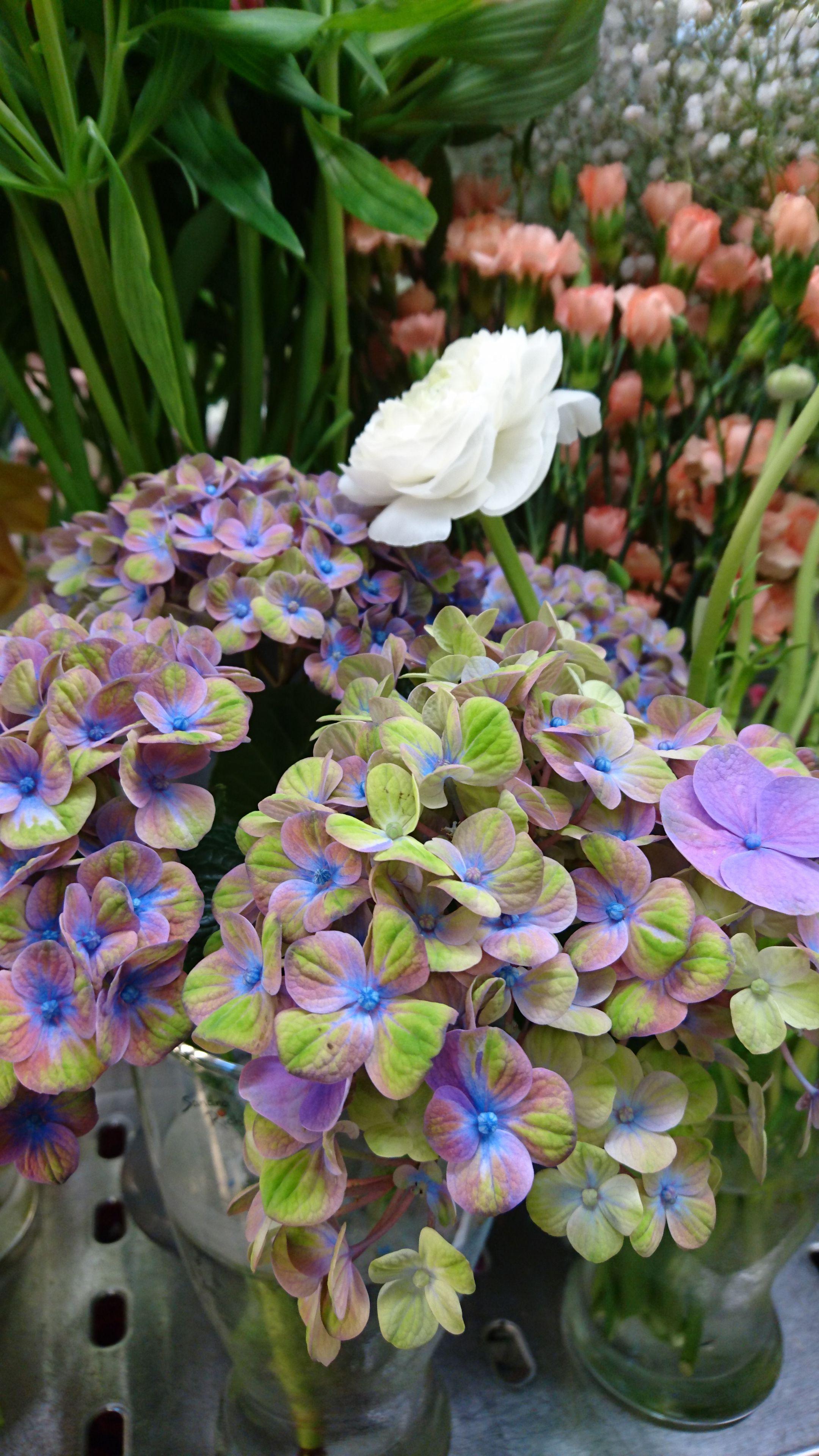 Pastellin värinen hortensia