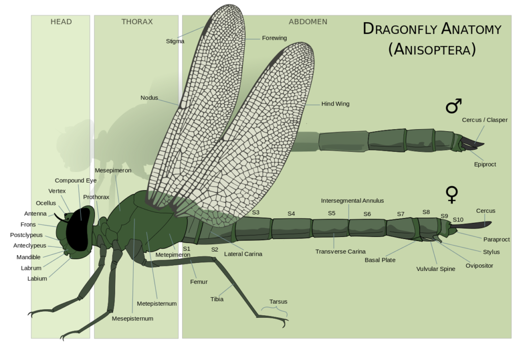 Illustration Of Male And Female Dragonfly Anatomy With Labels Identifying Parts Of The Body Dragonfly Damselfly Thorax