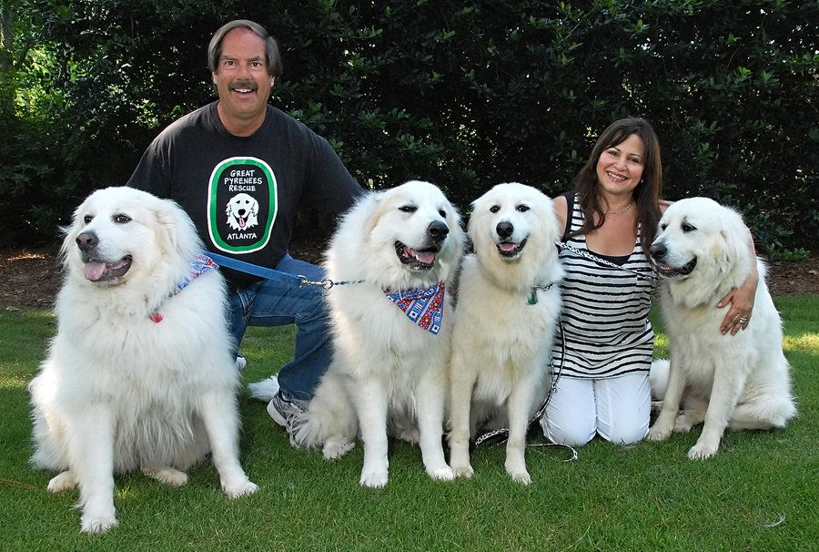 Great Pyrenees Rescue Of Atlanta Great Pyrenees Dog Great