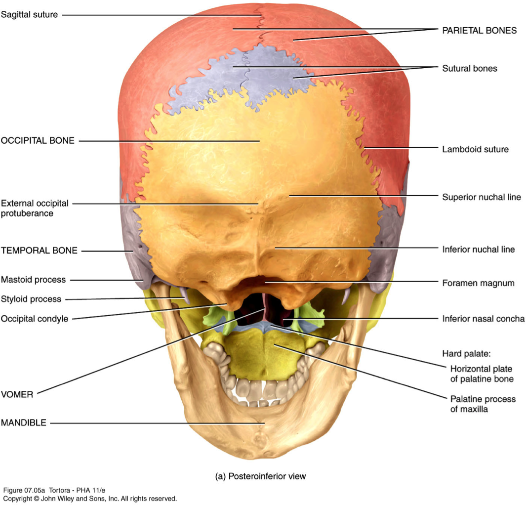 parietal bone human skeleton human skull skull anatomy anatomy and physiology skull [ 1065 x 1022 Pixel ]