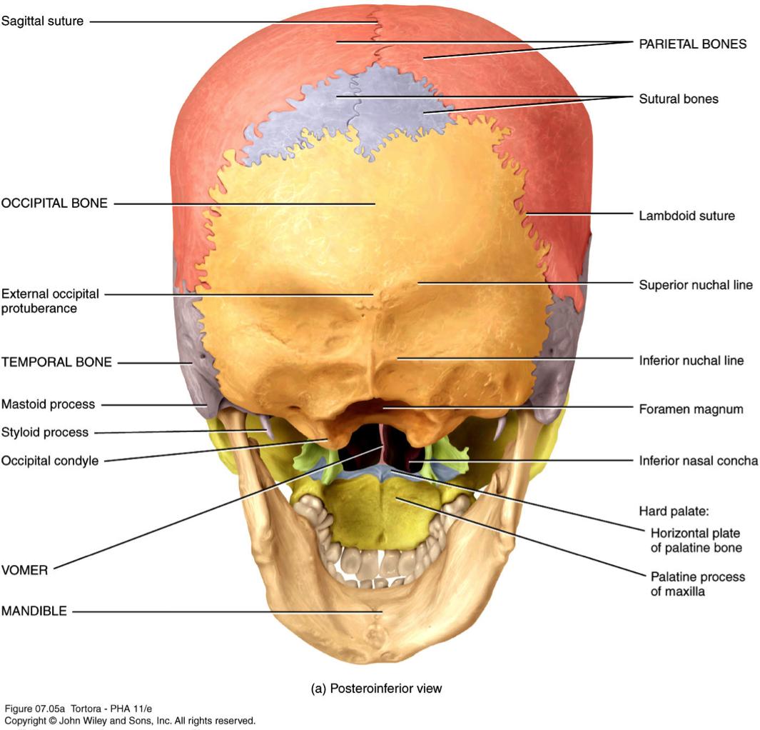 Parietal Bone For School Pinterest Skull Anatomy Anatomy And