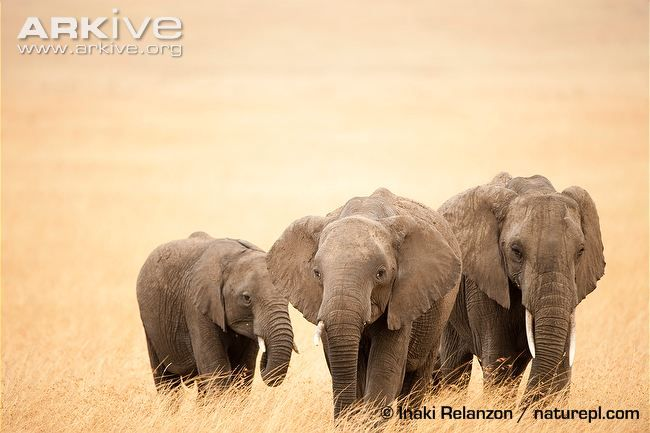 For all the basic facts and getting to know African Elephants check out this article and my blog: http://joeybsblog.weebly.com/