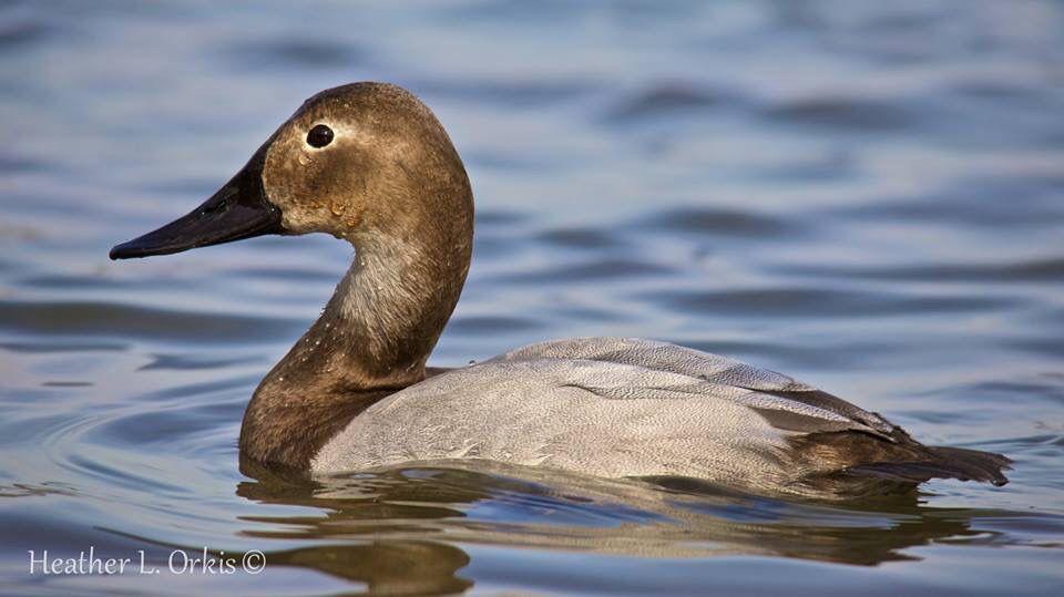 Canvasback Hen 01 23 15 Ducks Cambridge Md