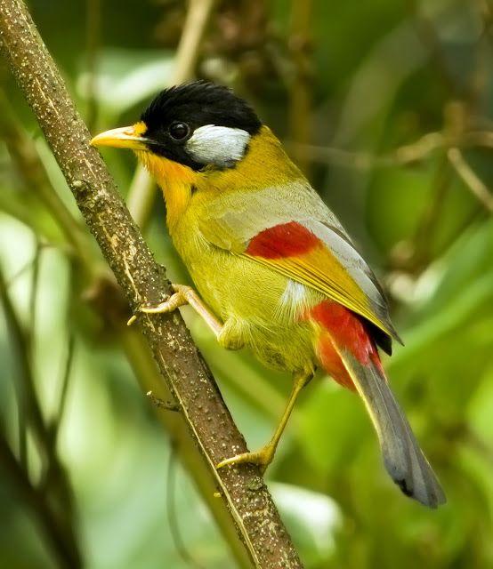 Burung Panca Warna Silver Eared Mesia Leiothrix Argentauris Burung Cantik