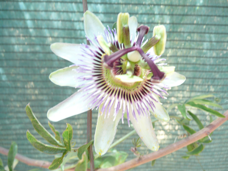 La flor de la pasion