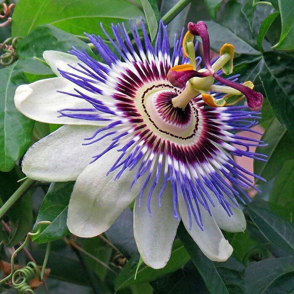 Passion Flowers Google Search In 2020 Blue Passion Flower Passion Flower Tea Passion Flower Plant
