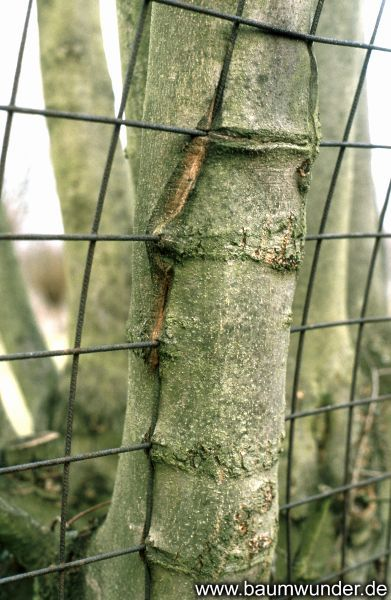 The tree is grown by a fence from construction steel mesh. The mesh leaves deep wounds.