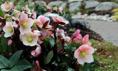 hellebore x pink frost |
