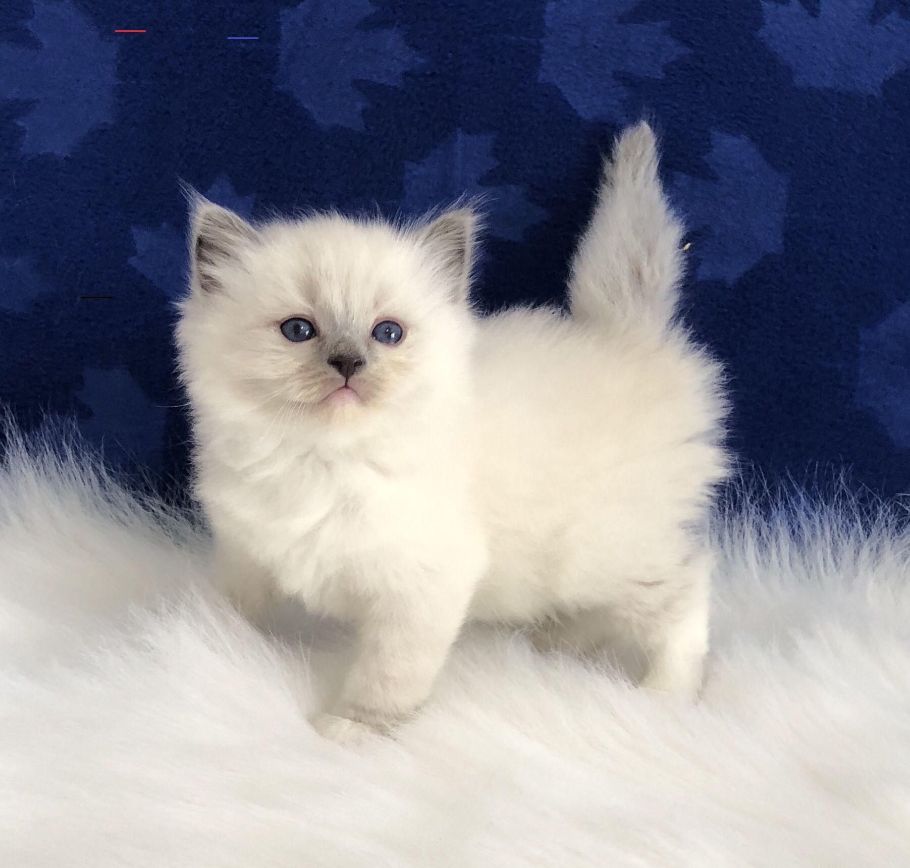 Ragdollkittens In 2020 Baby Katzen Flauschige Katze Katzenzuchter