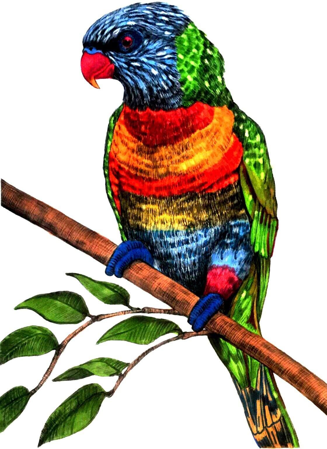 Rainbow Lorikeet By Benji Jager Animal Sketches Animals Sketches