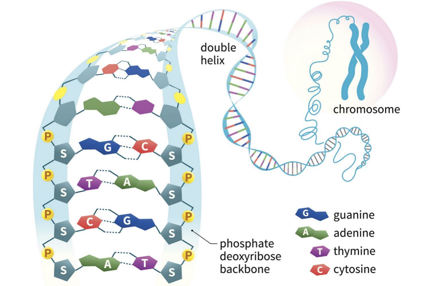 Learn About Nucleic Acids, Their Function, Examples, and