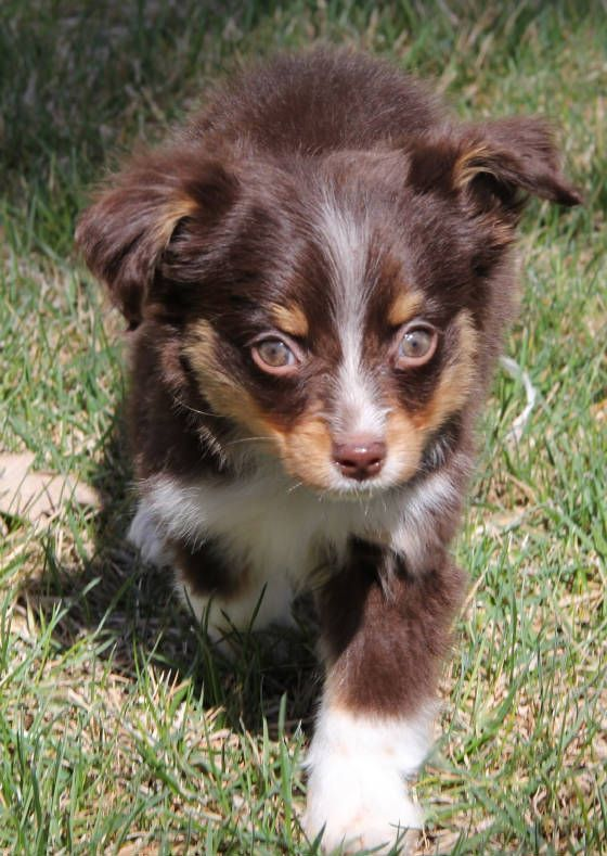 Red Tri Toy Aussie Puppies In Co Ma Mi Mn Ms Mo Mt Ne Nv