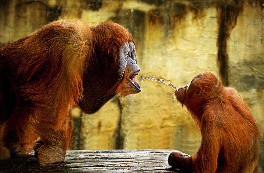 """""""Juego espontáneo del travieso orangután que decide lanzar un chorro de agua a su padres"""" © Rodeo Rose"""