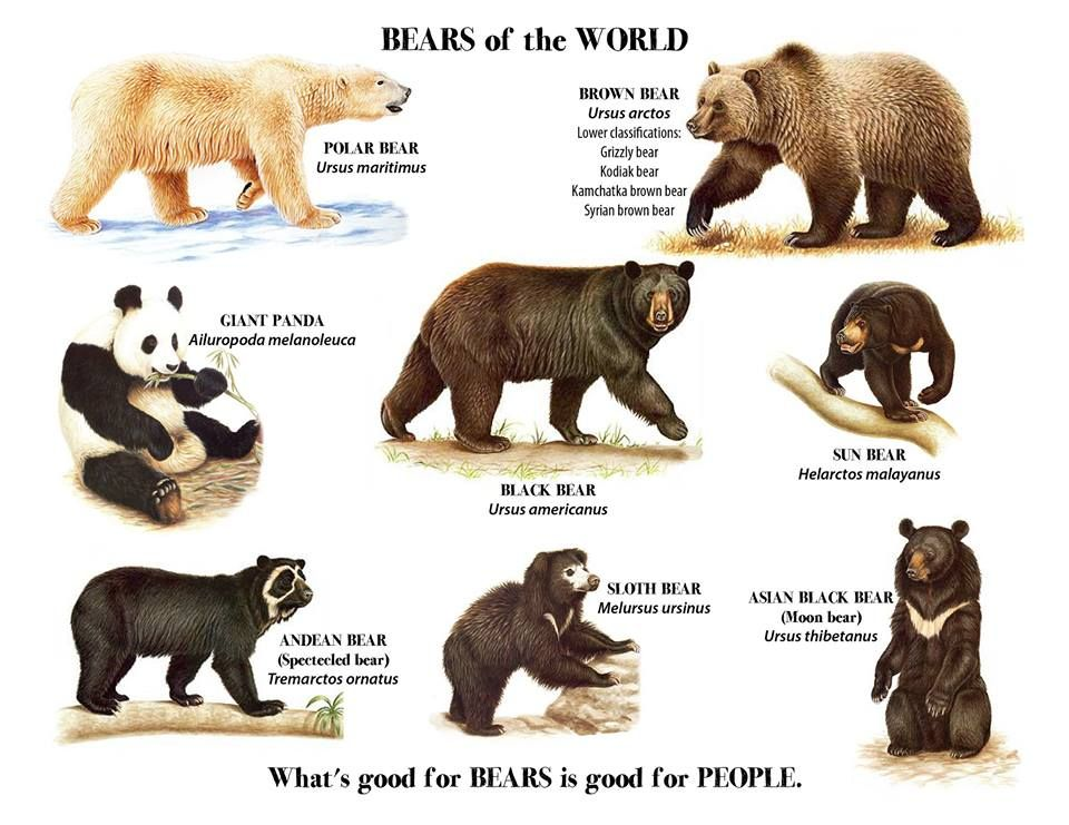 Bears Of The World Courtesy Of Lake City Friends Of The Bears Melursus Moon Bear Ursus