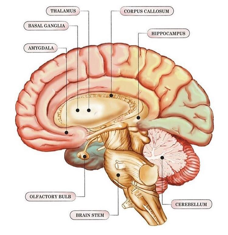 Structue of the limbic system The structures and ...