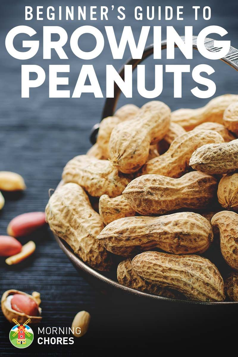 Growing peanuts planting guide care problems and