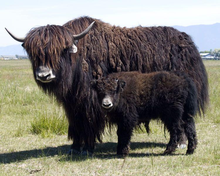 Yak Cow And Calf Wallpaper   Теленок, Корова, Животные