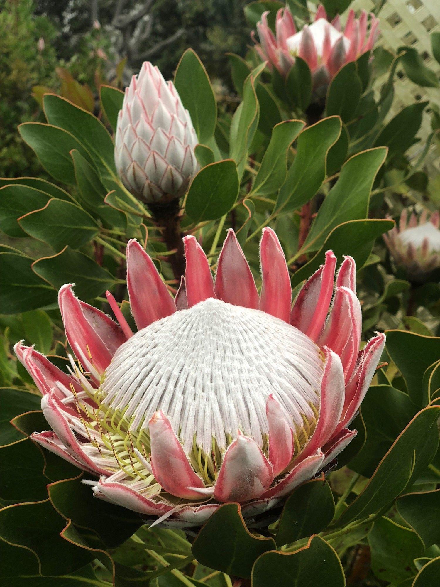 Blog Boldly Go Travel Maui Lavender Farm Protea Flower Lavender Farm