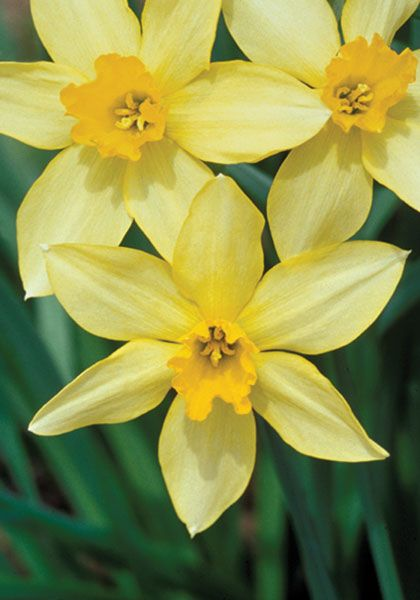 Stella 1869 Old House Gardens Heirloom Bulbs With Images Dream Garden Flowers Daffodils Garden Bulbs