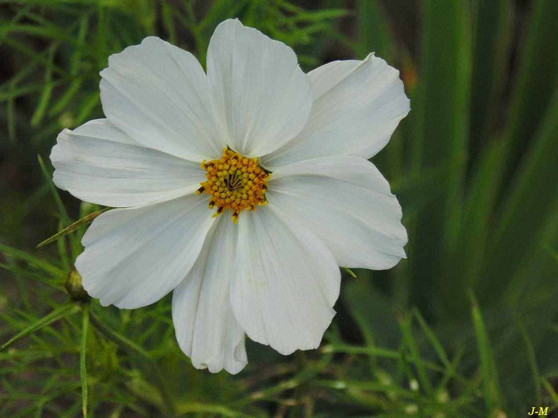 cosmos blanc | Fleurs de mon jardin | Pinterest | Titres de films ...