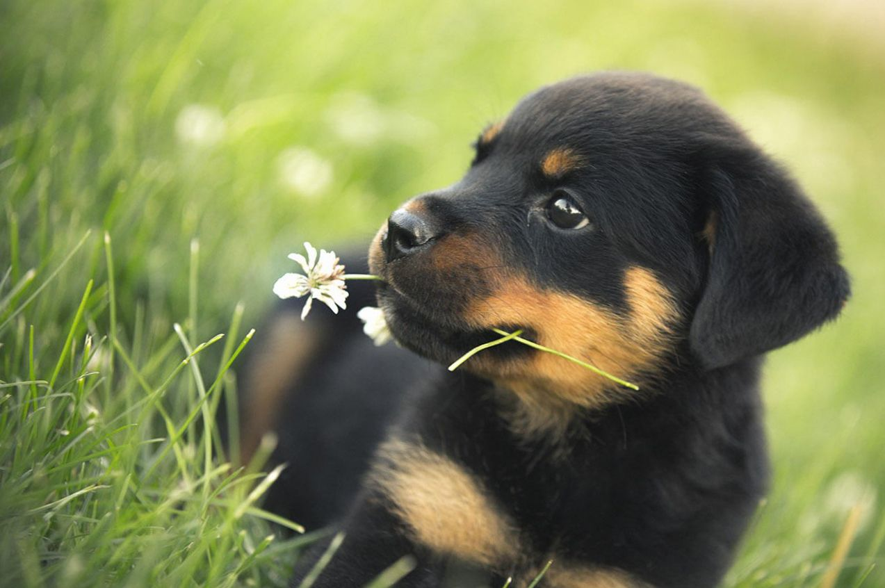 Spring Baby Animals Desktop Wallpapers Rottweiler Puppies Rottweiler Training Your Dog