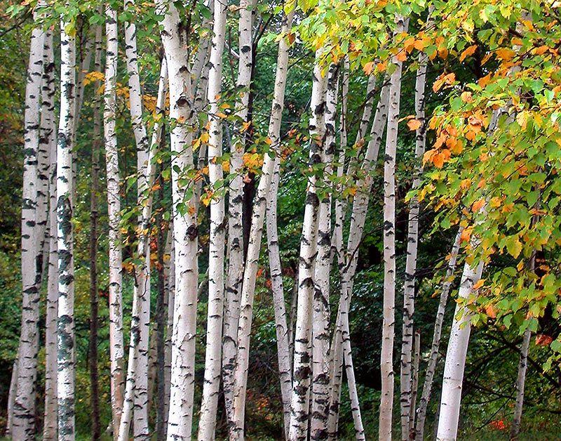 White birch trees wood pinterest