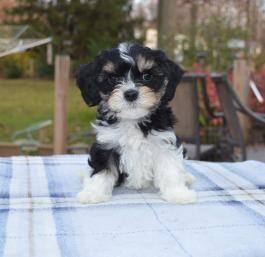 Cavashon Puppies For Sale Lancaster Puppies Cavachon