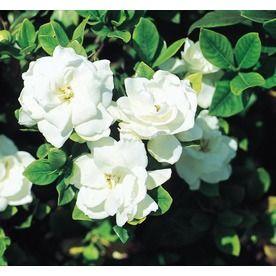White Veitchii Gardenia Flowering Shrub In Pot With Soil L10719