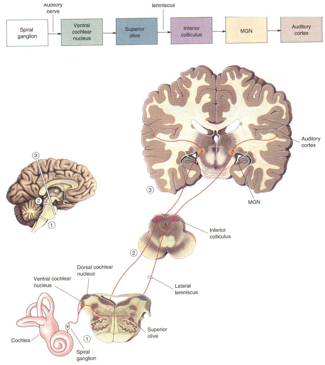 9_16.jpg (1046×1174) | Anatomy of ears | Pinterest | Anatomy