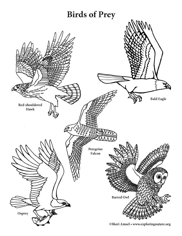 Color And Learn About Birds Of Prey On Exploringnature Org State