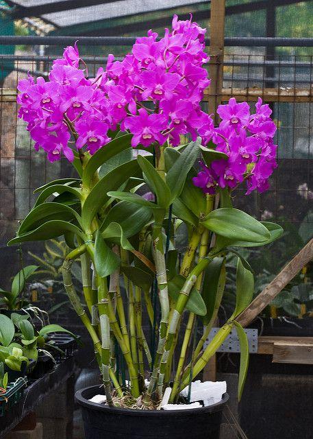 C Portia Cannizaro Growing Orchids Dendrobium Orchids Care Orchid Plants