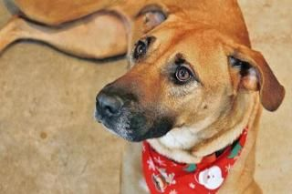 Annica is an adoptable Black Mouth Cur, Shepherd Dog in