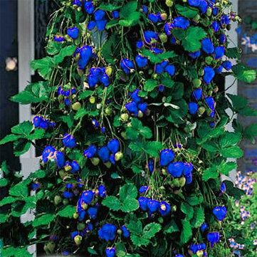 500Pcs Blue Strawberry Rare Fruit Vegetable Seeds Bonsai 400 x 300