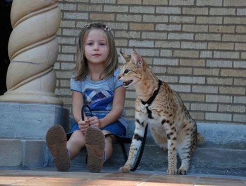 yutaiguchi:  yaruo:  yuco:  raurublock:  Savannah Cat Magic - The Tallest Cat In The World (12 pics + video) イエネコとサーバルを掛け合わせた Savanna Cat というハイブリッドな猫の Magic ちゃん。体長43cmで、ギネスブックでも世界最大の飼い猫として登録されてるそうな。Savanna Cat って、性格的には猫よりも犬に近く、頭も良くて主人の言うことをよく聞くらしい。