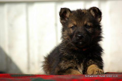 Zeus Orange Boy Litter Ddd Black German Shepherd Breeders