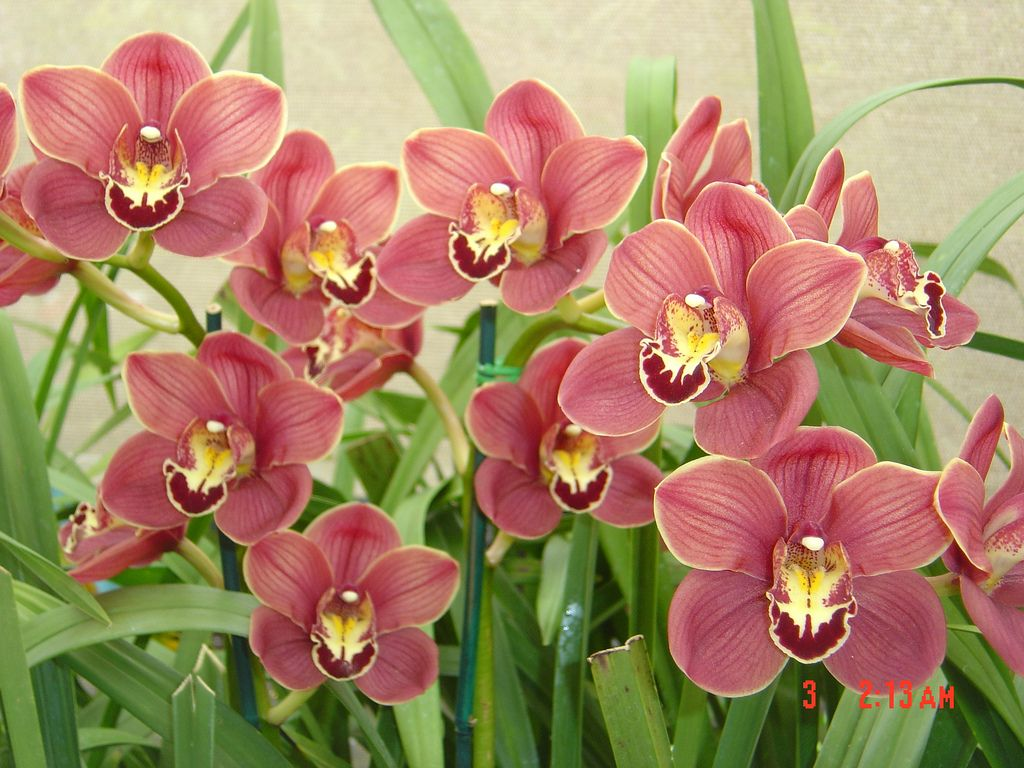 Cymbidium Orchid Growing How To Care For Cymbidium Orchids Cymbidium Orchids Care Cymbidium Orchids Orchid Care