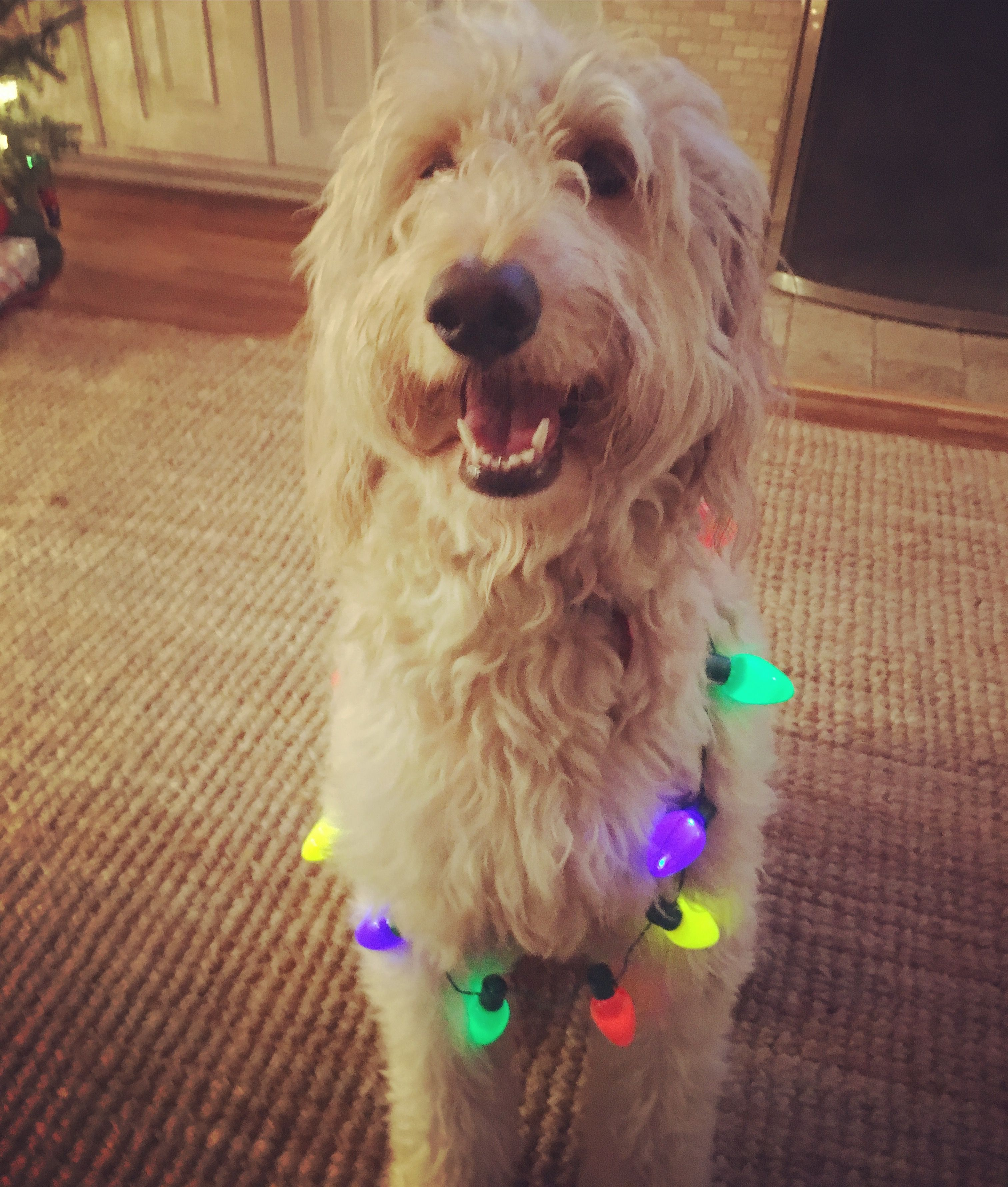 Bella the beauty Goldendoodle, Doodles, Dogs