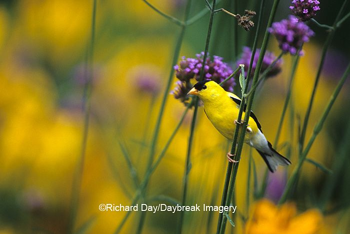 What a beautiful American Goldfinch