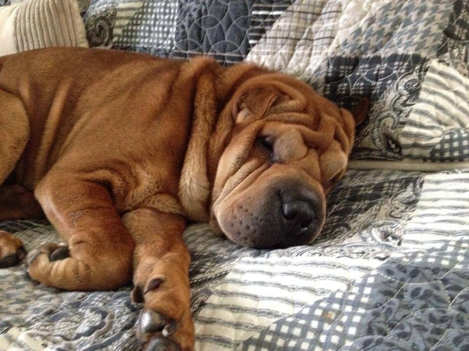 Lost Dog Female Innisfil, ON, Canada L9S 1T2 Shar