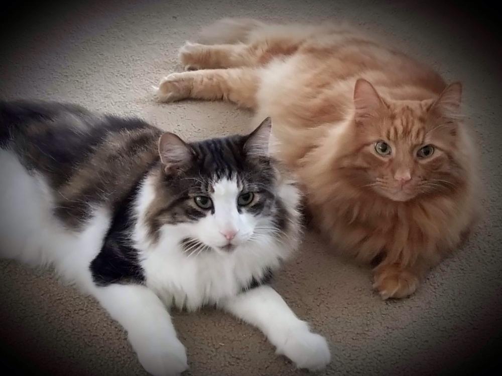 Ragdoll Cat Size Comparison To Other Ragdoll Cats Ragdoll