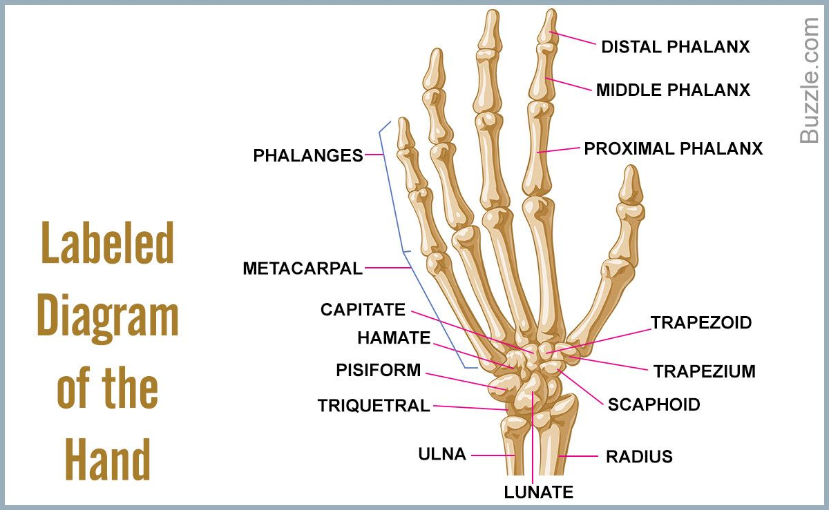 Bones Of The Hand Labeled Unique A List Of Bones In The Human Body With Labeled Diagrams In 2020 Skeletal System Anatomy Hand Bone Body Diagram