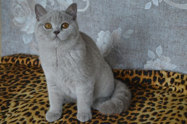 Pin By Suffie On Kitty S British Shorthair Cats British Shorthair Cats