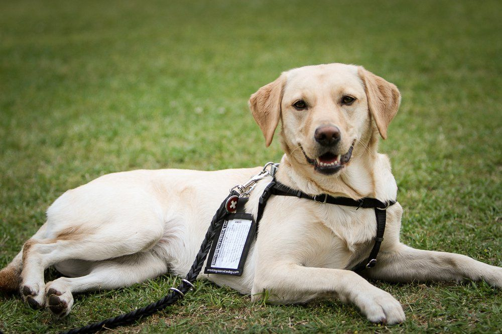 How Service Dogs Help Humans With Diabetes Service dogs
