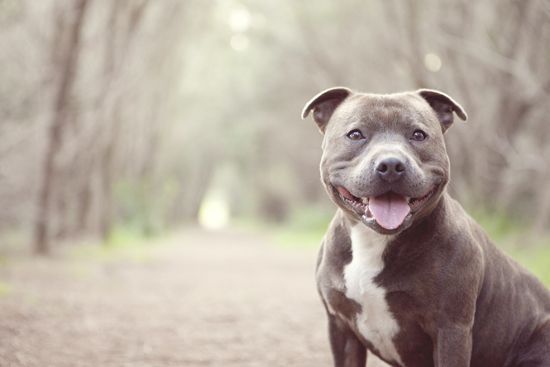 Bam Bam The Staffy By Petal Photography Dogs Dog Photography Animal Photography