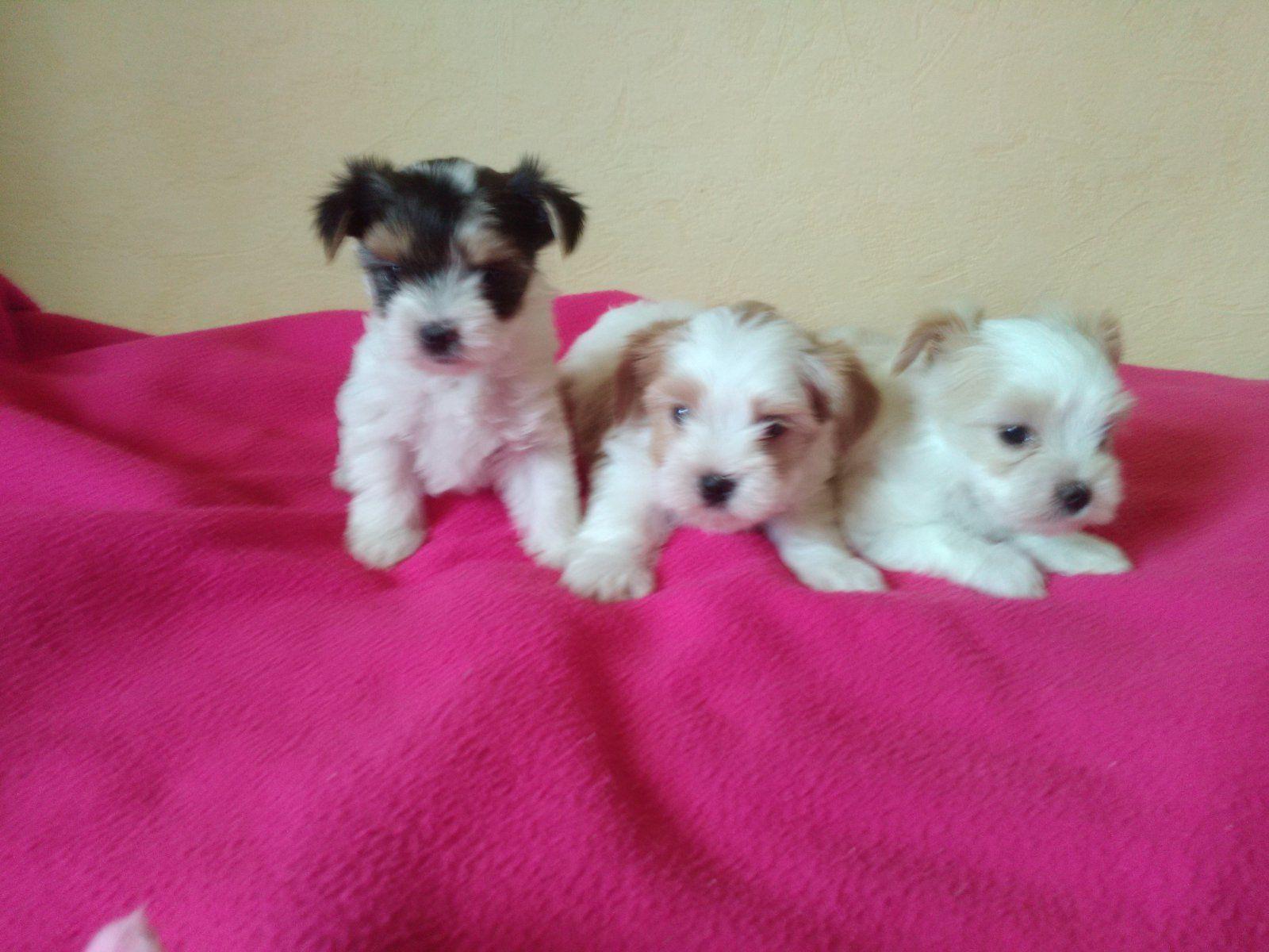3 Superbes Yorkshires Males Lof Et 3 Biewers Acheter Un Chiot Yorkshire Terrier 38 Isere France Yorkshireterrier Yorkshire Terrier Terrier Yorkshire