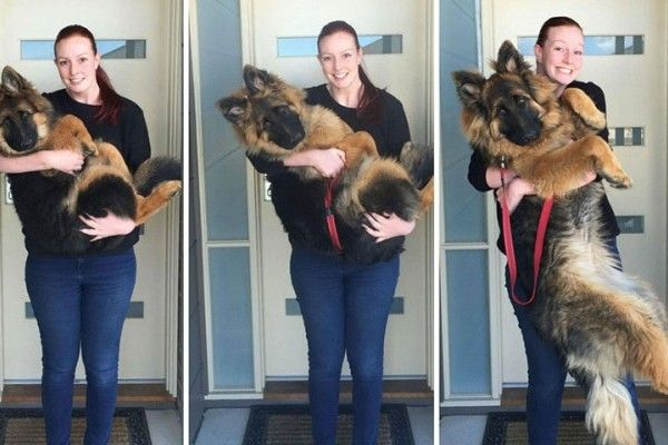 Couple Documents Their German Shepherd Puppy Growing Up Puppy