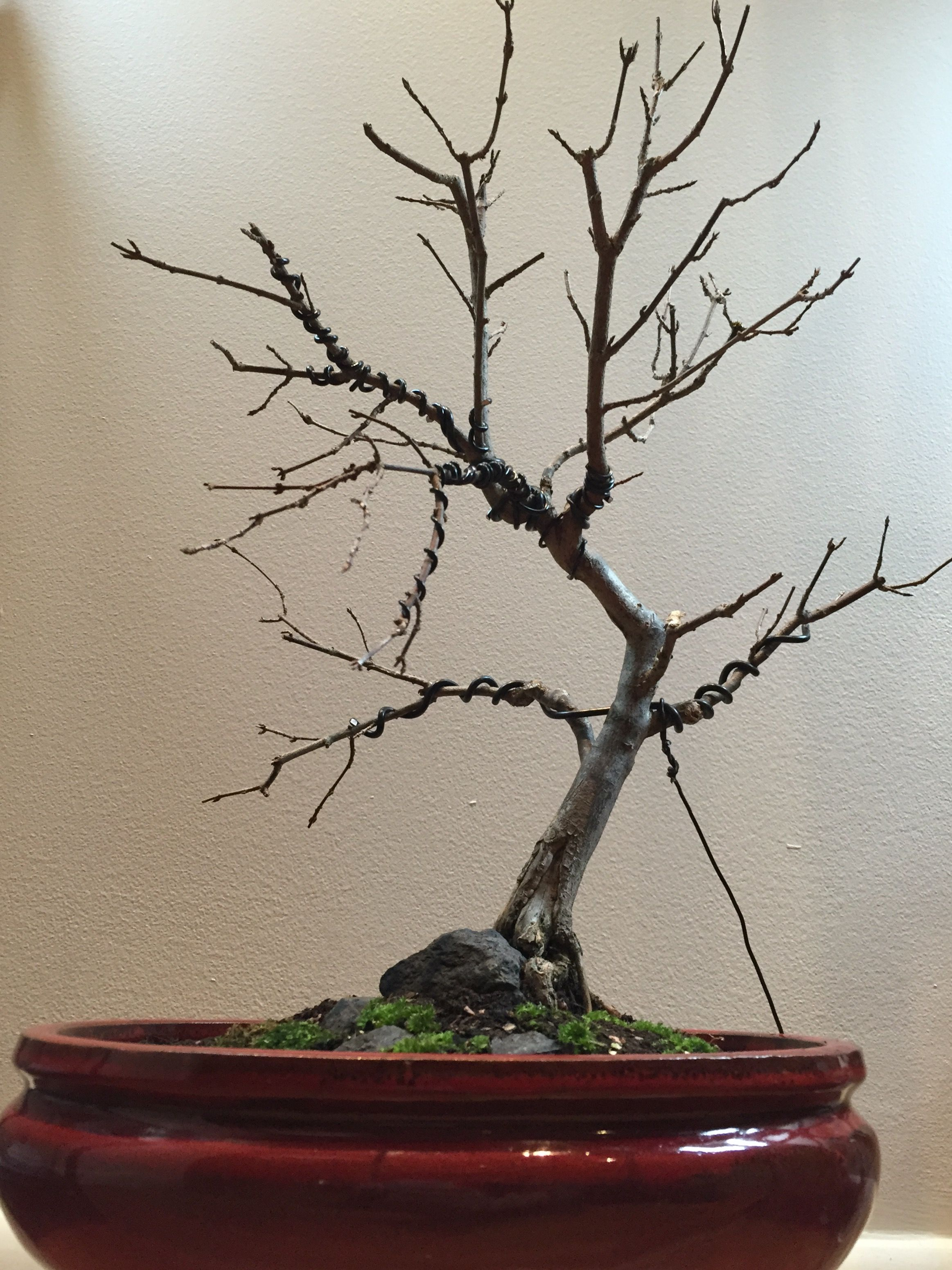 my trident maple first pruning wiring and re potting 09 06 2016 rh pinterest com au Bonsai Copper Wire Bonsai Wiring Tips