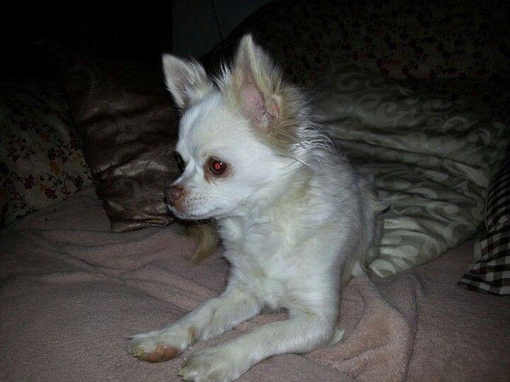 Chihuahua Lady-Luzie