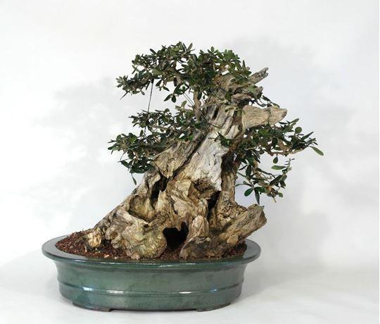 bonsai di olivastro