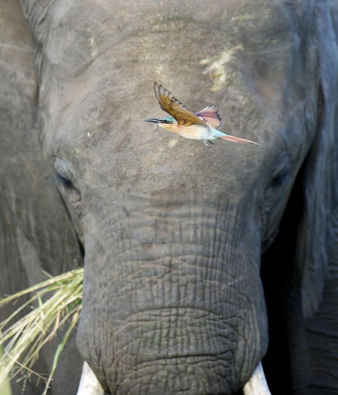 Photograph Elephant & Bee eater II by Licinia Machado on 500px